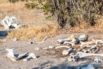 elephant bones in  Botswana, Africa