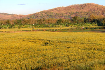 Beautiful yellow color of Sunn Hemp field in the evening. Fresh yellow Sunn Hemp for background. Sunhemp or Crotalaria juncea. Phetchabun province, Thailand.
