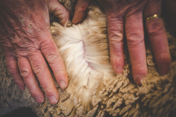 Close up image of the old hands of a Karoo farmer checking the quality of his Merino wool sheep's wool.