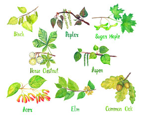 Trees variety set, Birch, Poplar, Sugar Maple, Horse chestnut, Aspen, Acer, Elm, Common oak leaves and seeds (conkers, acorns), hand painted watercolor illustration with inscriptions isolated on white