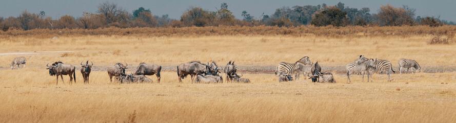 Eine Gruppe Zebras und Gnus im Grasland des Moremi Nationalparks, Okavango Delta, Botswana