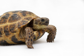 Central Asian land tortoise on white background