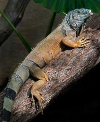 Green iguana. Latin name - Iguana iguana