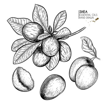 Hand drawn shea plant branch and nuts. Engraved vector illustration. Medical, cosmetic plant. Moisturizing butter,essential oil. Cosmetic, medicine, treating, aromatherapy package design skincare.