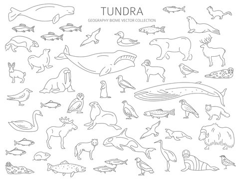Tundra biome. Simple line style. Terrestrial ecosystem world map. Arctic animals, birds, fish and plants infographic design