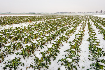 Filed with organic cultivated Broccoli plants covered with snow