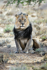 Fototapete - Black maned male lion resting under a tree in the Kgalagadi, South Africa. Panthera leo