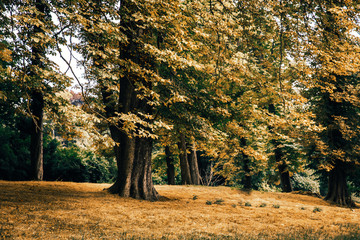 Forest edge, large tree in autumn Park, yellow leaves, dried grass. Blue sky Peeps between branches.