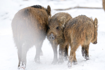 Young wild boar in winter forest