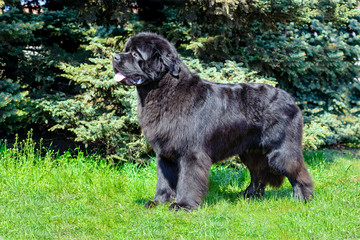 The  Newfoundland  is on the grass in the park.