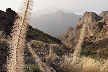 Buglos plants - Echium wildpretii (subspecies trichosiphon) growing in high altitude of Caldera de Taburiente National Park La Palma Canary Islands.