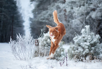 funny dog jumps in the winter in the snow. Nova Scotia Duck Tolling Retriever, Toller
