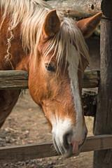 Close up of a horse's head, inside a farm fence.