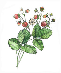 Hand drawn watercolor illustrations with decorative strawberries isolated on the white background
