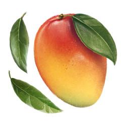 Hand drawn mango clip art, realistic illustration