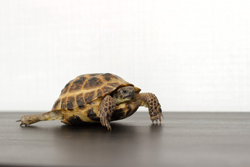 Central Asian land turtle crawling on a dark table