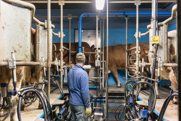 Farmer milking his cows in mechanic milking parlor