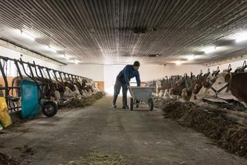 Farmer feeding his cows shoveling food towards them