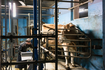 Farmer milking his cows on automated milking parlor