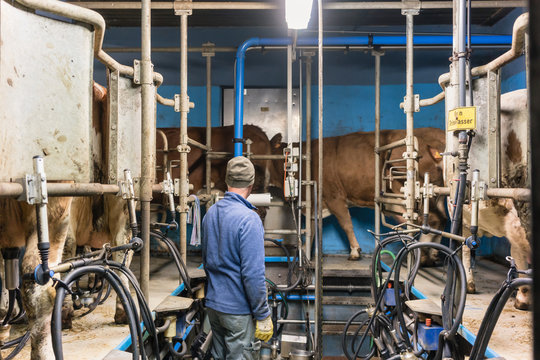 Rear view of man standing in milking shed