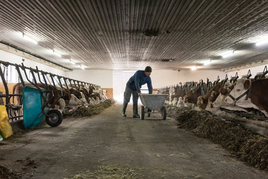 Man feeding food to cows in cowshed