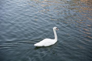 Graceful white swan
