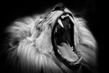 Fotobehang Leeuw Black and white lion with open mouth