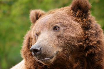Fototapete - Detail face brown bear