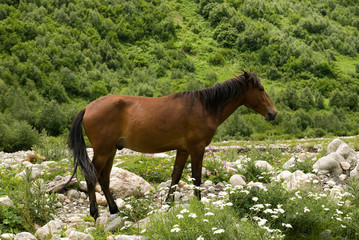 View of brown horse in the mountains of Georgia. Svaneti, Ushguli.