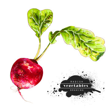 Red radish, green leaves isolated on white background. Illustration of a fresh vegetable. Bright and juicy colors, healthy food.