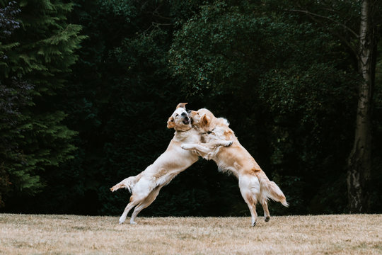 Two dogs playing in park