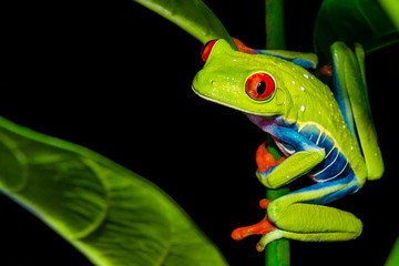 Foto op Canvas Kikker Red-eyed Tree Frog (Agalychnis callidryas)