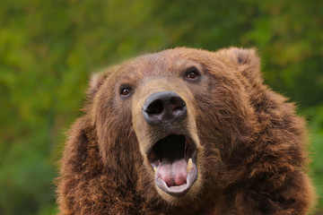 Poster - Curious brown bear with open mouth