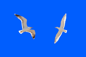 brittany : seagulls flying in blue sky