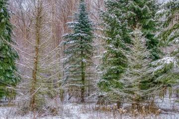 las mieszany lekko przysypany śniegiem, różna faktura drzew