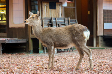 Japanese deer standing front of traditional farmer house.