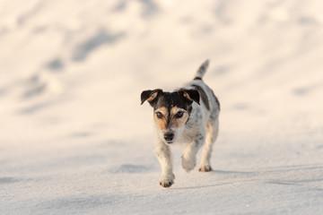 Jack Russell Terrier dog is walking   across a white meadow in snowy winter