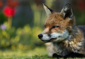 Close up of a Red fox lying in the garden