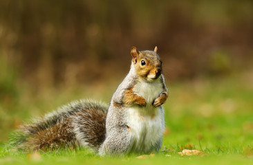 Eurasian grey squirrel standing on the grass