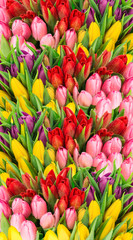 Fototapeta Fresh spring tulip flowers water drops