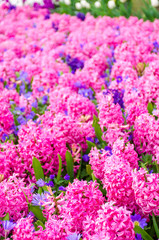 Group of beautiful pink hyacinths