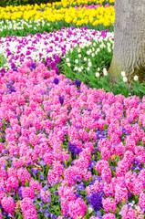 Pink flowering hyacinth bulbs in the garden of Keukenhof, Netherlands