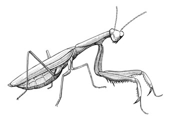 praying mantis, ink hand drawn vintage illustration