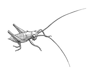 grasshopper maggot, ink hand drawn black and white illustration