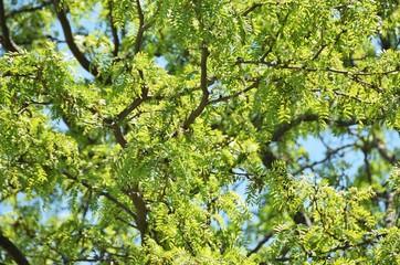 Locust Tree Branches