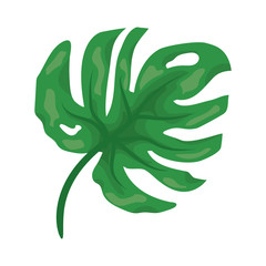 green leaf monstera