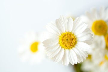 Chamomile or daisy flowers on white background.