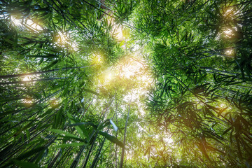 Obraz Bamboo young forest, beautiful green natural background. - fototapety do salonu