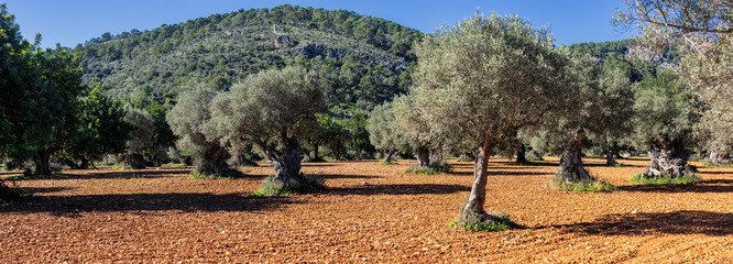 olive grove on the island of Mallorca