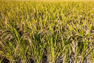 Rice stalks ready for harvesting in Tosu, Saga, Japan